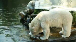 W bajkach jedzą miód, w warszawskim zoo lody z głów śledziowych