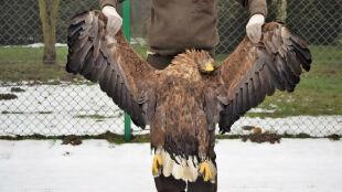 Śmierć królewskiego ptaka. Bielik nie przeżył zderzenia z linią energetyczną