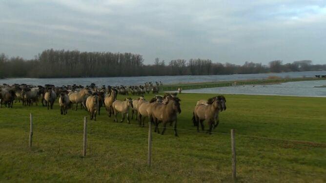 W Holandii Ren grozi wylaniem. Ewakuacja ponad 100 koników polskich