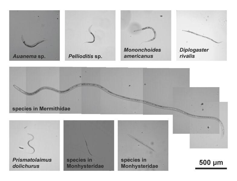 Osiem nowo odkrytych nicieni (Caltech)
