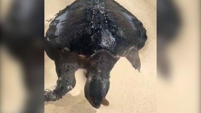 Żółwie pokryte grubą warstwą czarnej mazi. Wyciek ropy naftowej w Brazylii